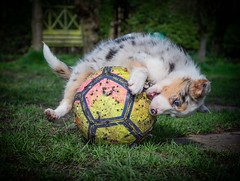 Learning a New Sport (Chris Willis 10) Tags: garden play puppy star dog animal cute pets grass mammal outdoors small younganimal nature canine purebreddog friendship playful looking fun domesticanimals playing fur will bordercollie sheepdog ball tug famil
