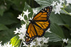 Butterfly 2018-7 (michaelramsdell1967) Tags: metamorphosis monarch delicate antenna butterfly insect flower animal green bug closeup beautiful colorful spring color plant garden beauty white pretty monarchs animals vivid vibrant upclose bugs insects nature macro zen