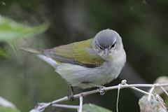 Tennessee Warbler (Alan Gutsell) Tags: tennessee warbler tennesseewarbler migration songbird texas galveston birds birding canon springmigration spring gulf