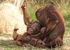 orangutan Kawan and Baju Apenheul BB2A2030 (j.a.kok) Tags: orangutan orangoetan orang animal aap ape apenheul mammal monkey primaat primate mensaap zoogdier dier asia azie kawan baju