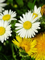 Daisy in the Sun (The-Beauty-Of-Nature) Tags: spring april nature photography germany deutschland plants pflanzen green grün lush sunny sun sonne sonnig warm