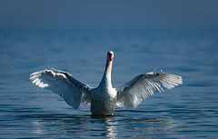 Want a hug? (robert.lindholm87) Tags: nikon d500 swan mute water bird animal action wings splash lightroom sweden 200500 nikkor telephoto nature animals birds white blue ocean