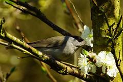 DSC08743 - Blackcap (steve R J) Tags: blackcap fingringhoe wick ewt reserve essex birds british