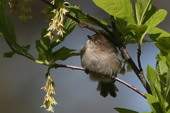 Little Lady in Spring (Paridae) Tags: birdsofbritishcolumbia birdsofafeather birdsoflangley campbellvalleypark bushtit femalebushtit psaltriparusminimus familyparidae featheredfriends afewofmyfavouritethings thingswithwings canoneos1dx