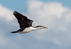 Pied Cormorant (Phalacrocorax varius).jpg (irsacae) Tags: sandbar ocean flight shag bird flying woodmanpoint sea jetty groyne pointperon rocks