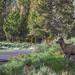 Female Bighorn sheep in Lamar Valley Yellowstone