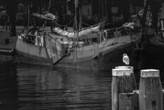 Pájaro. (Miguel Ángel López Gil) Tags: panasonicgx7 panasoniclumix45175mm barco blackwhite blancoynegro pájaro canal amsterdam holanda