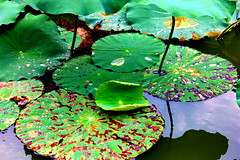 Lotus Flower (Christian T. Toth) Tags: nature green flower lutus water plant outside colorful exotic