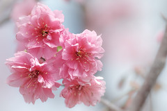 ピンク色の桜 (YUSHENG HSU) Tags: sunshine きれい フローラル romantic copy beauty space botany フラワー sakura plant ナチュラル love コピースペース 花びら closeup floral 桃色 咲く クローズアップ スペース romance pink botanical 背景素材 さくら アップ spring 満開 copyspace nature 接写 material pastel defocused 自然 macro flora backdrop コピー sunlight 台湾 バッググラウンド 台中 bokeh テクスチャ バックグランド 余白 素材 背景 background taichung ピンク サクラ blur natural マクロ 植物 bg blossom 綺麗 春 花 お花 cherry blank 美しい バックグラウンド 模様 taiwan 桜 bloom happiness beautiful flower