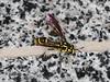 Ceriana sp. (dhobern) Tags: 2018 china march xtbg xishuangbanna yunnan diptera syrphidae eristalinae ceriana