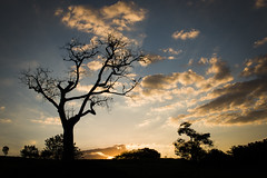 Imposing Tree (Edward Zulawski) Tags: art artistic nature naturaleza tree árvore natureza céu sky cielo sunset sunrise magichour horamágica pôrdosol nuvens clouds brazil