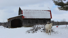 Horse guarding the barn (pegase1972) Tags: quebec qc canada winter hiver neige snow cheval horses grange québec barn