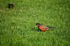 Robins (hollyzade) Tags: nikond40 nikon nature outside outdoors green bird birds robin robins wings side ontario canada