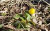 Winter Aconite (varmfront.se) Tags: winter aconite spring flower