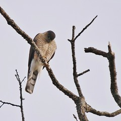 Sharp-shinned Hawk, Portland Country Club (Bill Bunn) Tags: sharpshinnedhawk falmouth maine