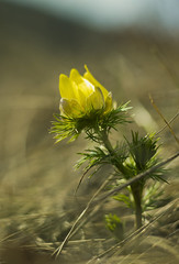 **** (zsolt75) Tags: canon100d 50mm 18 stm hungary handheld april spring nature flower yellow canon colors