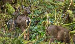 Blacktail doe with two yearlings (Dan Hershman) Tags: mtrainiernationalpark rainforest carbonriver