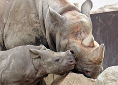 black rhino Mara and Naima Blijdorp BB2A8061 (j.a.kok) Tags: neushoorn rhino rhinoceros animal africa afrika zwarteneushoorn blackrhinoceros blackrhino puntlipneushoorn mara naima mammal zoogdier dier herbivore blijdorp