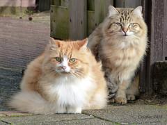 Two beauties, not mine. (Cajaflez) Tags: katten cats pet huisdier notmine kat gatto chats coth5 fabuleuse