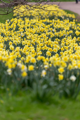 Yellow daffodils in a park. Soft foreground and background