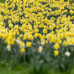 Yellow daffodils in a park. Soft foreground and background thumbnail