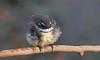 grey fantail (Rhipidura albiscapa)-7844 (rawshorty) Tags: rawshorty birds canberra australia act symonston