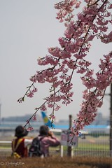 2018 Spring #10 (Yorkey&Rin) Tags: 2018 airplane april cherryblossom chiba couple em5markii flower japan narita olympus olympusm75300mmf4867ii rin spring v4030045 weepingcherry カップル さくらの山公園 四月 枝垂れ桜 春 成田空港 成田市 千葉県 飛行機