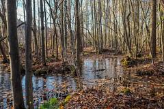 Swamp (vinnie saxon) Tags: fujifilm autumn light colors contrast trees landscape nature swamp