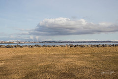 Beautiful Reykjavík (Islandsmjoll.is) Tags: 2018 hallgrímskirkja iceland icelandicmysteryis island reykjavík xo birds fuglamyndir grótta hellisheiðisvirkjun islandsmjoll photo pizza sjávarsýn sky ský steinar stones svanir álftir útaðborða þari