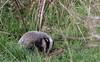9Q6A8923 (2) (Alinbidford) Tags: alancurtis alinbidford brandonmarsh nature wildlife badgercub
