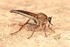 Robber Fly, female (Asilidae) (John Horstman (itchydogimages, SINOBUG)) Tags: insect macro china yunnan itchydogimages sinobug entomology canon robber fly diptera asilidae fb tumblr topf25