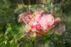 Dancing (Robin Penrose - Canadian eh?) Tags: dominican republic punta cana 201804 impressionism dominicanrepublic puntacana movement dance hibiscus flower layers ps6 lr4