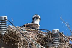 Wind blown Osprey