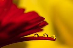 Drops & Flowers > gocce e riflessi by Mario Nicorelli con Nikon D300s macro fotografia (Mario jr Nicorelli ( Macrofotografia Drops Flowers) Tags: marionicorelli macrofotografia macro mario jr nicorelli d300s drops nikon nikond300s sigma macrophotography fotografia fotografico fiori flowers foto salgareda mottadilivenza treviso