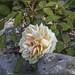 21 aprile 2018: Roma compie 2771 anni. Nel Roseto Comunale riaperto oggi per festeggiare la Città Eterna una rosa antica