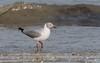 Grey-headed Gull (tickspics ) Tags: africa greyheadedgull birds gulls tanjibeach thegambia kombosouth chroicocephaluscirrocephalus greyhoodedgull laridae ssppoiocephalus