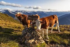 Mucche all'alba (cesco.pb) Tags: valleaurina speikboden sudtirol altoadige alps alpi alpiaurine italia italy canon canoneos60d tamronsp1750mmf28xrdiiivcld alba dawn sunrise mucche cows