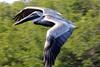 Brown Pelican -- Adult (Pelicanus occidentalis); Ft. Meyers, FL, Sanibel Island, Ding Darling NWR [Lou Feltz] (deserttoad) Tags: nature bird wildbird park florida pelican behavior flight beach