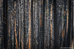 After Fire Abstract (www.karltonhuberphotography.com) Tags: 2016 abstract burnt california colors dead destruction details forest forestfire horizontalimage karltonhuber light lines naturalworld nature outdoors patterns sierranationalforest skyranchroad treetrunks trees wildplaces