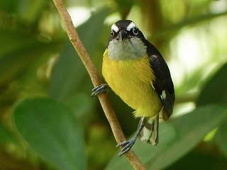 Bananaquit, Asa Wright, Trinidad