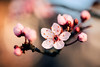 Blossom (_echo_bravo_) Tags: sunset warmth color colour pink tree