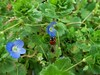 100_8865 (jeanchristophelenglet) Tags: cergyfrance fleur flower flor bleu blue azul coccinelle ladybug joaninha