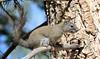 Arboreal Thief -- Red Squirrel (Tamiasciuris hudsonicus); Santa Fe National Forest, NM, Thompson Ridge [Lou Feltz] (deserttoad) Tags: fauna animal rodent squirrel forest mountain tree wildlife behavior newmexico nationalforest mammal