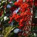 Barnebydendron riedelii (Cardinal Tree)