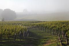 IMG_5717a (ManFromOz) Tags: ©geoffsmith gemaxphotographics mist vineyard suttonforest