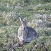 Watching you watching me (MJ Harbey) Tags: rabbit wildrabbit animal mammal nikon d3300 nikond3300 farlingtonmarshes hampshireandisleofwightwildlifetrust wildlifetrust hampshire leporidae lagomorpha field grass