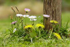 Hello Spring ! (@Katerina Log) Tags: spring florafauna flower foliage plant nature natura depthoffield bokeh daylight daisy green ground grass katerinalog sonyilce6500 105mmf28 outdoor blossom macro closeup colour