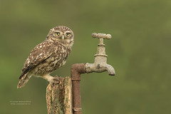 Little Owl - on Tap (Louise Morris (looloobey)) Tags: am0a8497 athenenoctua littleowl may2015 oldfemale tap post hide neil