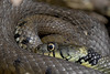 Grass Snake — Natrix helvetica (Kentish Plumber) Tags: snake grasssnake reptile uk mating natrixhelvetica kentishplumber photography photos images