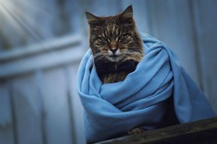 Zeus (Emayli) Tags: catstagram petstagram gold winter good great wow brilliant beautiful scarf nature like nice photooftheday picoftheday picture pic photography photo smart butterfly fancy fantastic stunning sweet adorable cute animals animal kitten kitty meow cats cat pets pet